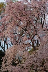 六義園桜2016-1