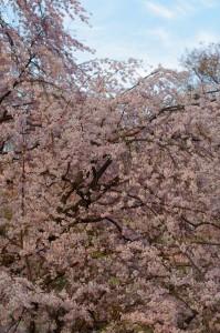 六義園桜2016-2