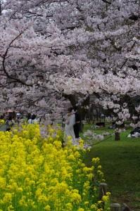 小金井公園桜2016-1