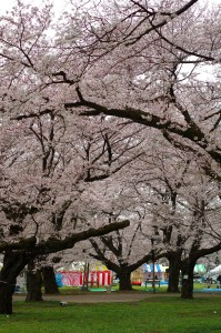 小金井公園桜2016-3
