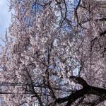 青森市の桜2021