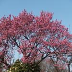 2017.3-桜咲き始め1