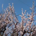 2017.3-桜咲き始め2