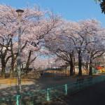 西東京桜2015-1