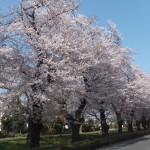 西東京桜2015-2