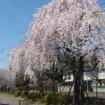 西東京桜2015-3