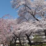 西東京桜2015-4