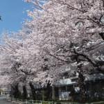 西東京桜2015-5