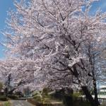 西東京桜2015-6