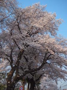 桜2018-6