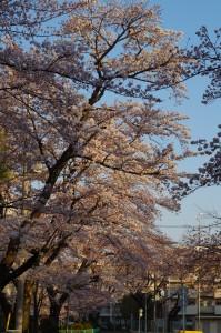 西東京市桜2017-1