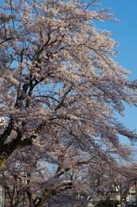 西東京市桜2017-2