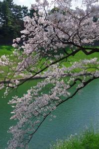皇居桜2017-1