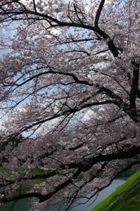 皇居桜2017-2