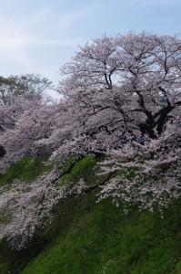 桜2018-3