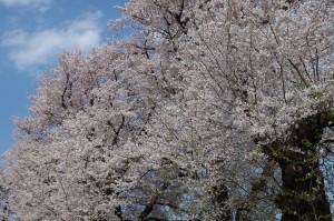 桜2019-3