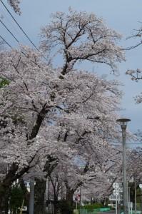 西東京の桜2020-2