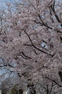 西東京の桜2020-1