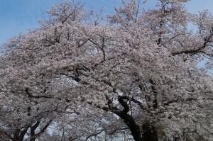 小金井公園の桜2020-2