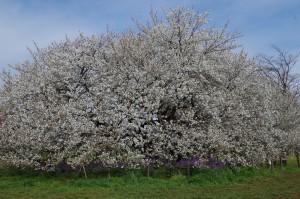 小金井公園の桜2020-1