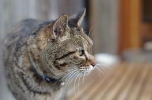 佃煮屋の猫